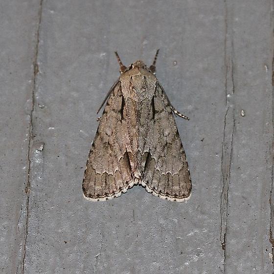 Pleasant Dagger Moth ?