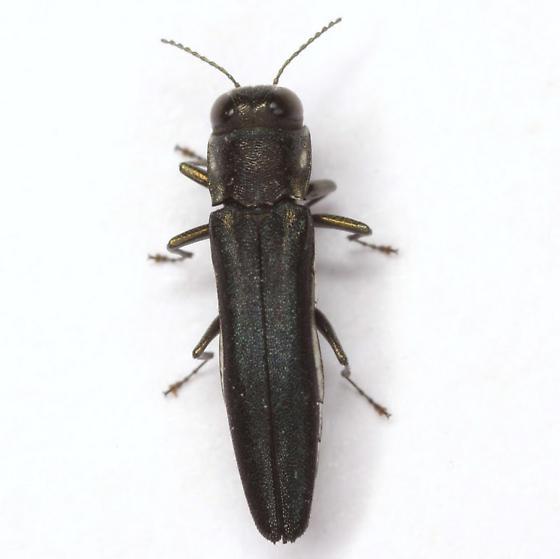 Agrilus bilineatus (Weber) - Agrilus bilineatus