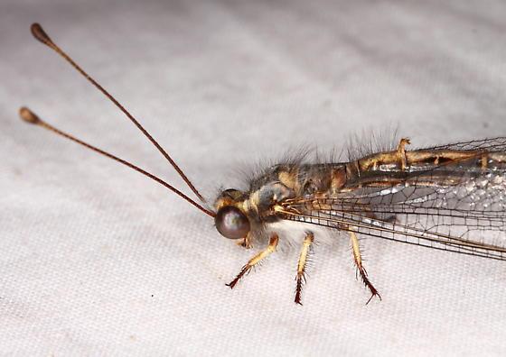 Owlfly - Ascaloptynx appendiculata