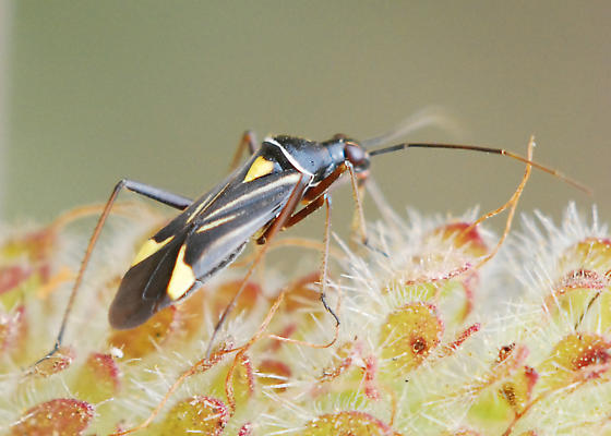 Slick bug. Know it? - Closterocoris amoenus