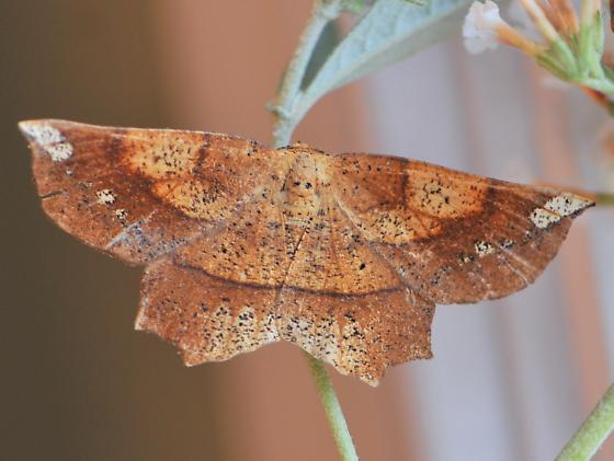 Deep Yellow Euchlaena - Euchlaena amoenaria - female