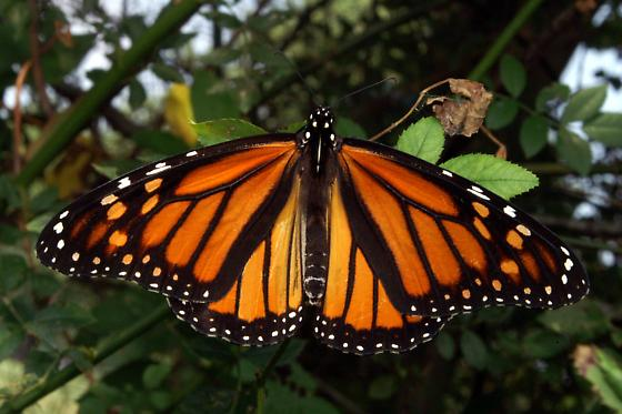 Monarch For Illinois In August - Danaus plexippus - female
