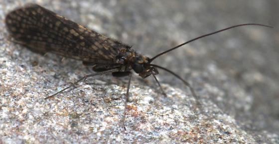 Dolophilodes distinctus - male