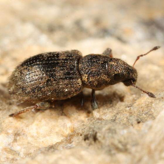 Broad-nosed weevil - Sitona