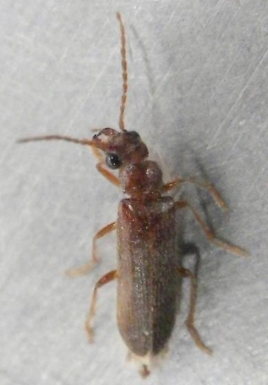 Beetle 4.8.17 - Anorus
