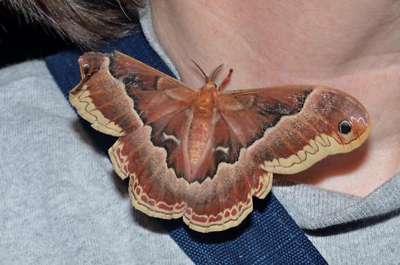 # 7764 – Callosamia promethea – Promethea Moth - Callosamia promethea - female
