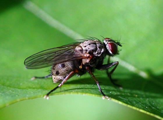 Tiger fly  - Coenosia tigrina