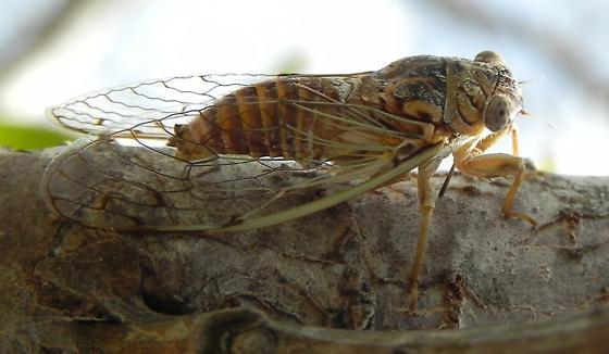 TX 13mm Cicada species - Pacarina puella