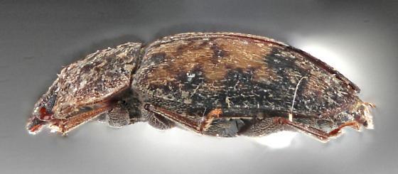 Nitidulid-hawk - Omosita nearctica
