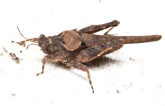 Pygmy grasshopper - Tetrix ornata
