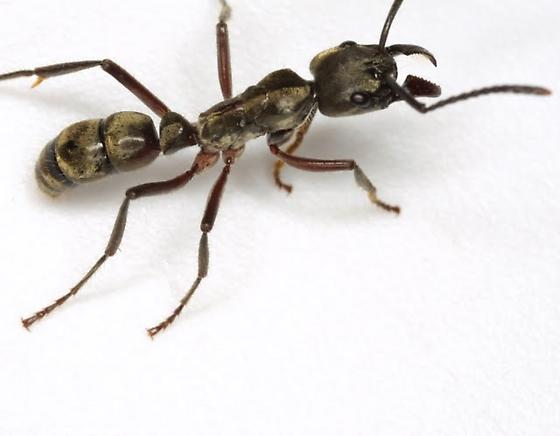 Pachycondyla villosa (Fabricius) - Neoponera villosa - female