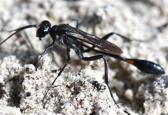 Ammophila, I presume - Ammophila