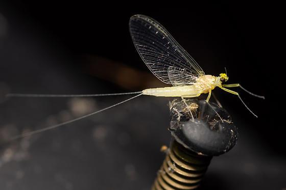 Mayfly?