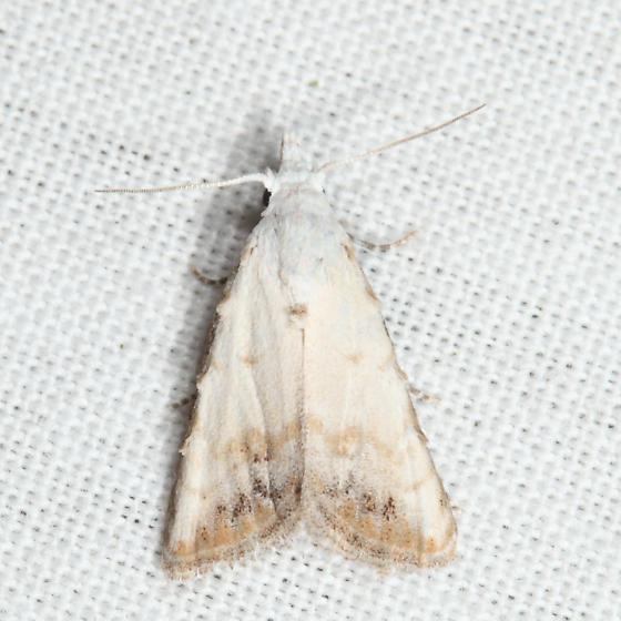 Sorghum Webworm Moth - Nola cereella