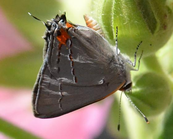 Strymon melinus, Gray Hairstreak - Strymon melinus - male