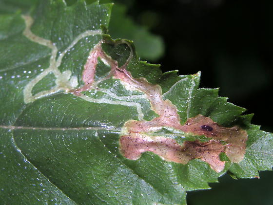 leafminer - Agromyza alnibetulae-maybe