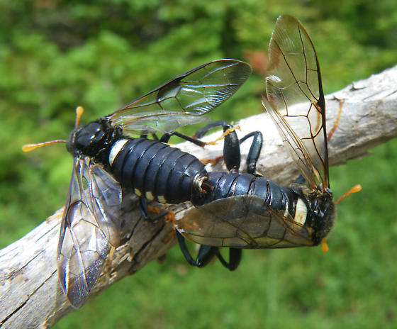 mating sawflies - Cimbex americanus - male - female