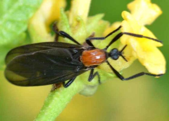 Love Bug? - Plecia nearctica