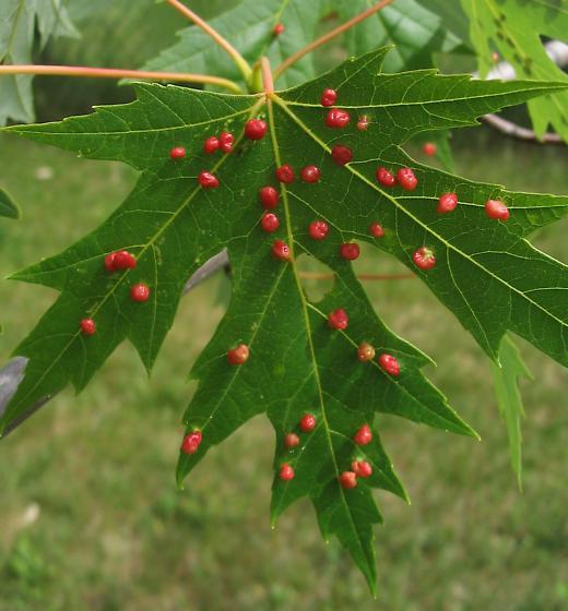 Maple gall mite - Vasates quadripedes - BugGuide.Net