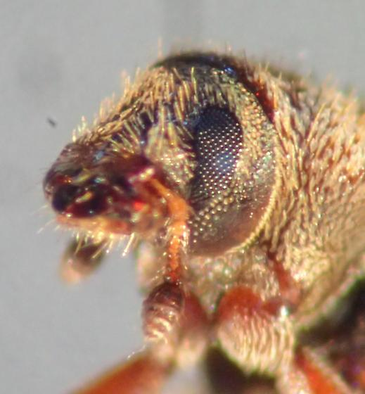 Tiny broad-nosed weevil? - Pseudohylesinus pini
