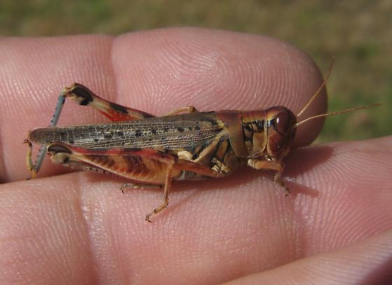 Melanoplus arizonae - female