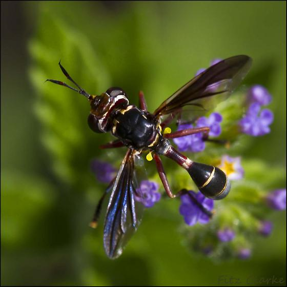 Thick-headed fly, Conopidae family - Physoconops excisus