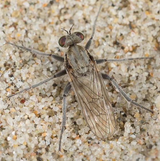 Ovipositing - Lasiopogon littoris - female
