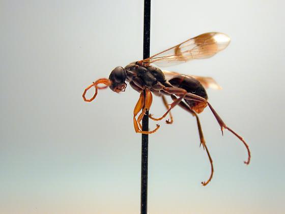 Dipogon calipterus - female