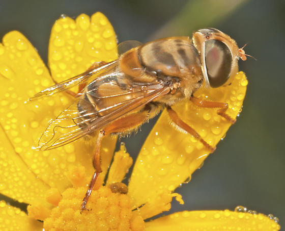 Family Syrphidae - Palpada vinetorum
