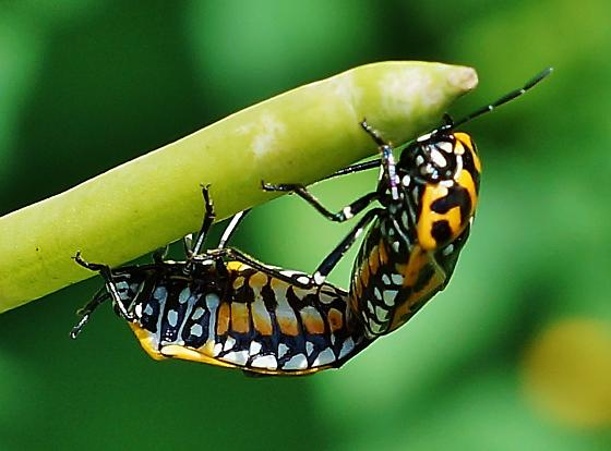 The Harlequin Bug (Murgantia histrionica) - Mating Pair - Murgantia histrionica - male - female