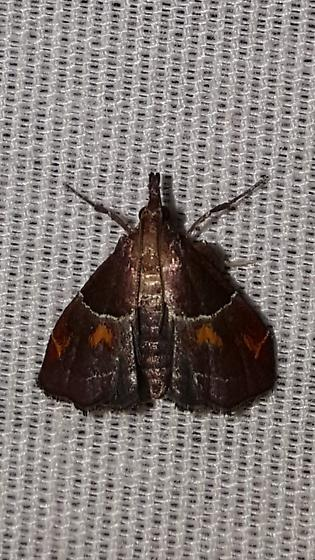 Moth with orange heart motif - Penthesilea sacculalis