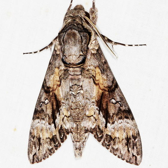 Pink-spotted Hawk Moth - Agrius cingulata