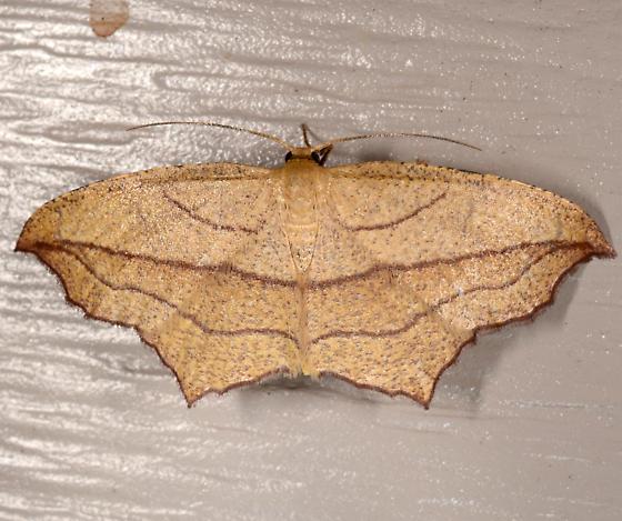 Timandra - Timandra amaturaria - female