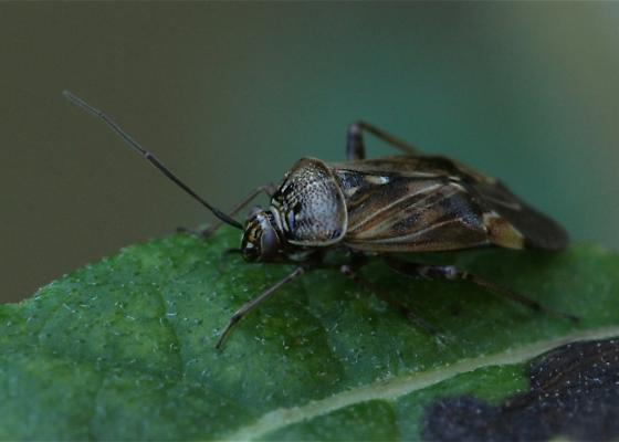 Tarnished Plant Bug-Lygus lineolaris - Lygus