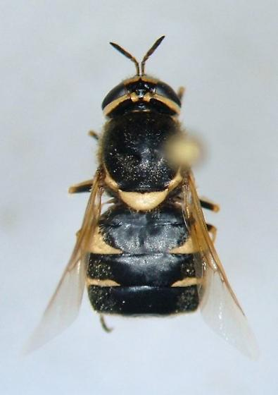 Psellidotus johnsoni - female