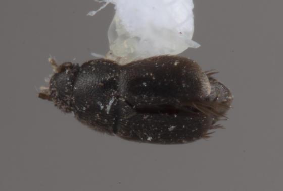 Ptiliidae