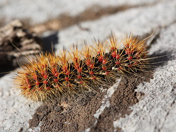 Caterpillar - Acronicta