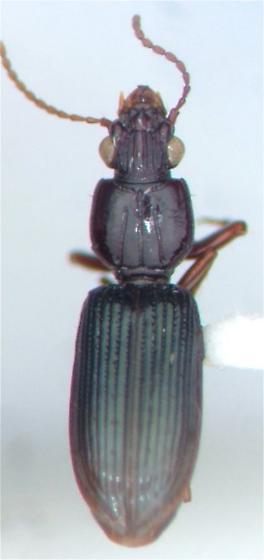 Schizogenius - Schizogenius lineolatus