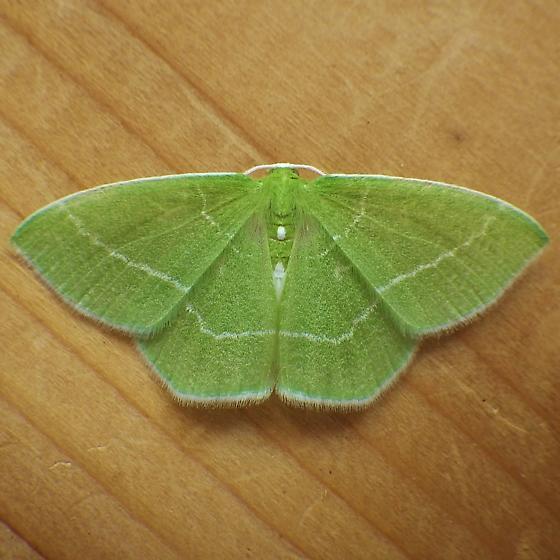 Geometridae: Nemoria mimosaria - Nemoria mimosaria