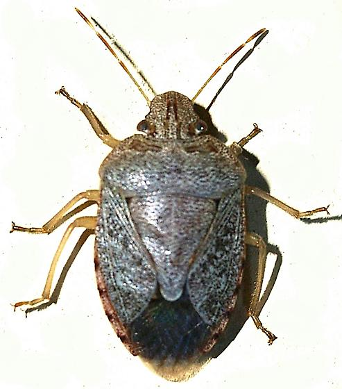 Stink Bug - Banasa grisea