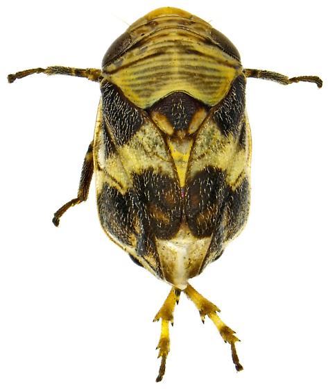 Clastoptera arizonana? - Clastoptera