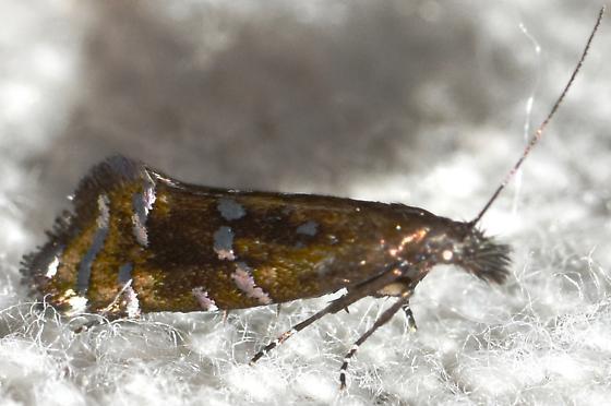 Help in id for small moth - some kind of Twirler?   - Drymoana blanchardi