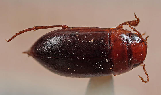 Dytiscidae - Celina imitatrix