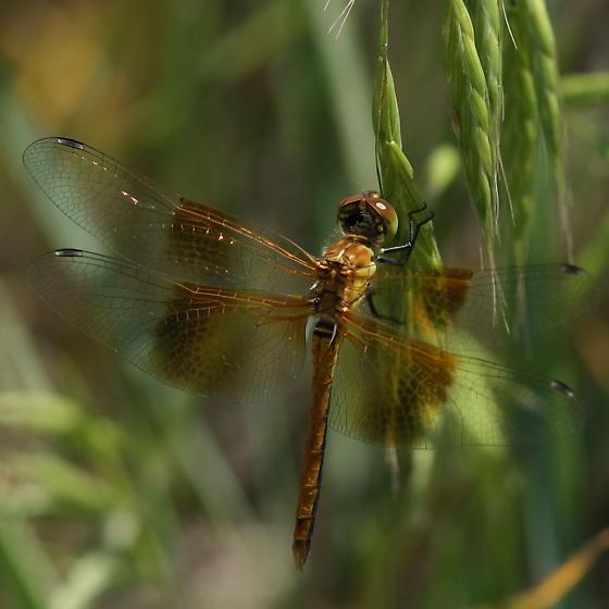 Badlands skimmer - Sympetrum semicinctum - male