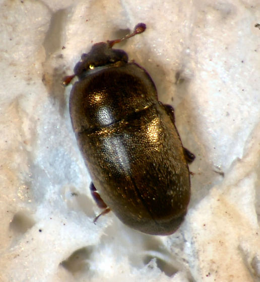 Meligethinae ? - Fabogethes nigrescens