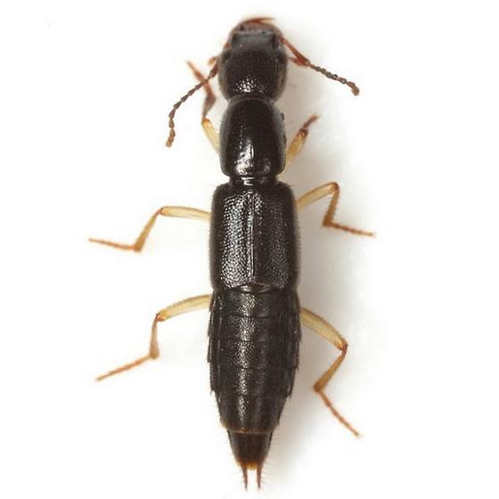 Homaeotarsus