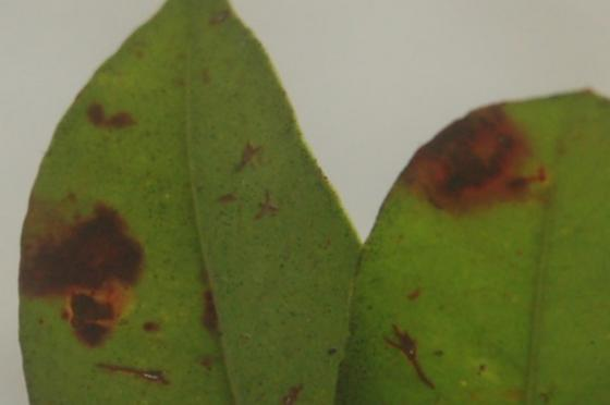 St. Andrews leaf damage on Lyonia lucida SA1261 2017 2