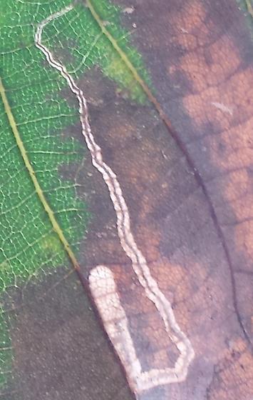 Carya ovata host - Stigmella caryaefoliella