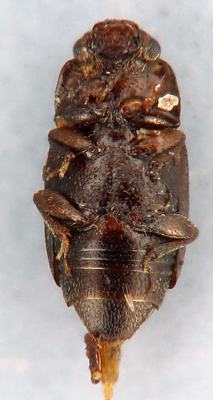 small nit - Carpophilus brachypterus