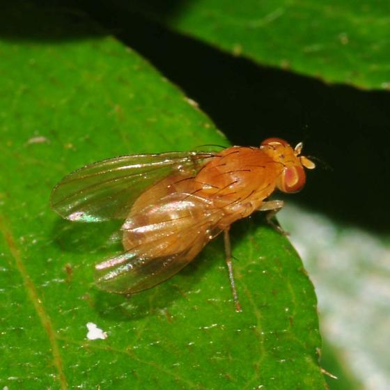Dipteran - Neogriphoneura sordida